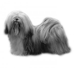 Lhasa-Apso_White-backg